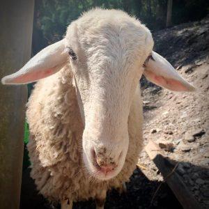 Familia de ovejas: Roma