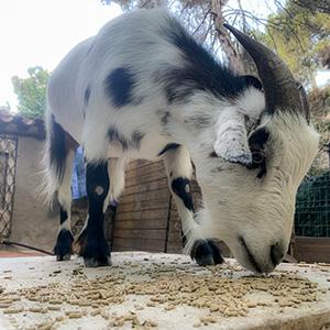 Familia cabras - Hugo