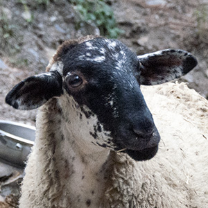 Familia ovejas - Marie
