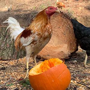 Familia gallos - Johnny