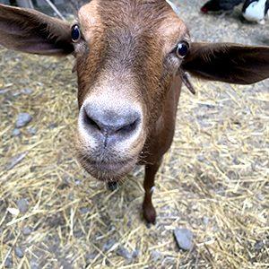 Familia cabras - Pepa