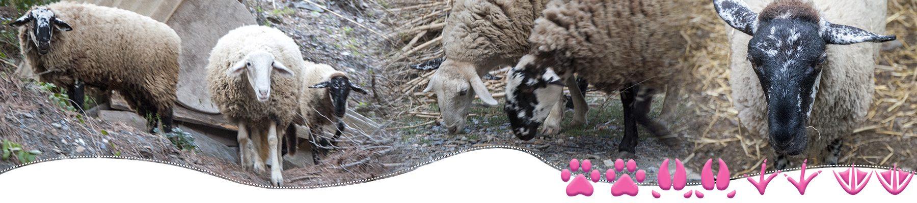 Familia ovejas del Santuario BuenaVida