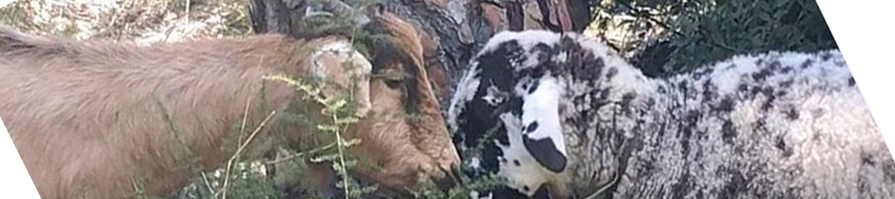 Santuario BuenaVida: cabras